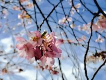 Abstract Close Up of Pink Cherry Blossom in Early Spring. Bare branches are covered in delicate, fragrant blooms.  Looking up at the tree with the sky in the Stock Image