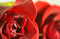 Abstract close up of red rose with droplets Stock Photos