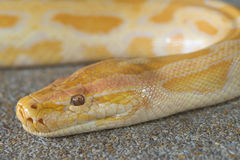 Abstract closeup of Gold python head Royalty Free Stock Photo