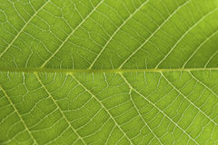 Abstract closeup green leaf texture background. Stunning repeated pattern on a green leaf, with intricate veins, color and structure Stock Images