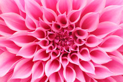 Abstract closeup(macro) of pink dahlia flower with pretty petals Stock Photography