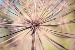 Dry flower. Abstract closeup photo of dry flower with interesting texture. Natural phorography royalty free stock image