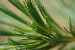 Abstract closeup of pine needles. Sprig of pine needles with leading lines towards the viewers Stock Photography