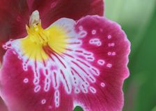 Closeup of red and yellow orchid petal Royalty Free Stock Photo