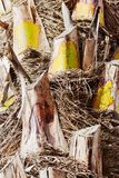 Palm tree closeup Royalty Free Stock Image