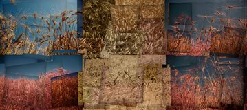 Abstract collage with ears of ripe wheat.  royalty free stock image