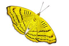 Abstract color Tabby Pseudergolis wedah butterfly butterfly stock images