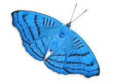 Abstract color Tabby Pseudergolis wedah butterfly butterfly royalty free stock images