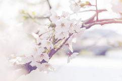 Abstract color of white wild Himalayan cherry blossom, vintage Sakura tree Royalty Free Stock Images