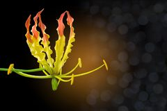 Abstract colorful of Climbing Lily,Turk`s cap, Superb Lily,Gloriosa superba flower with the bokeh, beam light, and lens, flare ef Royalty Free Stock Photo