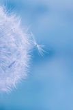 Abstract colorful dandelion seeds Royalty Free Stock Photography