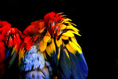 Abstract colorful feathers. Abstract colorful parrot feathers against black Royalty Free Stock Photo