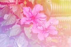 Abstract colorful Hibiscus flower in flower garden. royalty free stock photo