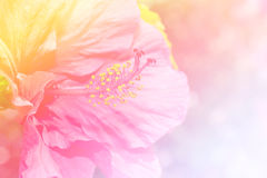Abstract colorful Hibiscus flower in flower garden. stock photos