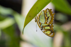 Abstract Colorful Malachite Butterfly. This acrobatic, colorful, green and brown spotted butterfly with beautiful patterns hanging upside-down on a green leaf Stock Photography
