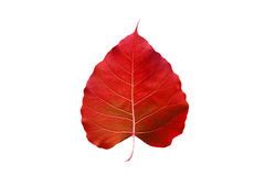 Abstract colorful red leaf, isolated on white background Royalty Free Stock Photography