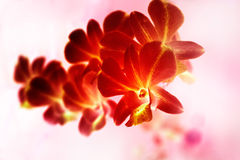 Abstract colorful red orchid painting style, soft focus and blur Stock Image