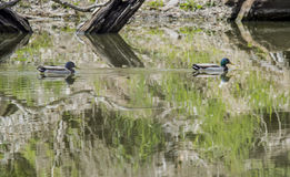 Abstract colors of ducks and greenery in water. Stock Photography
