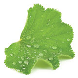 Abstract common lady`s mantle green leaf closeup with raindrops, isolated macro studio shot Royalty Free Stock Images