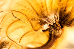 Abstract composition with dried clematis seeds Royalty Free Stock Image