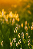 Abstract composition with wild grass. In bright sunset counterlight Royalty Free Stock Photography