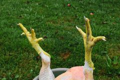 Abstract composition of yellow chicken claws in front of the green grass background royalty free stock image