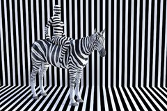 Woman Riding Zebra, Stripes, Wildlife Animal Royalty Free Stock Images