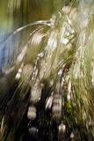 Abstract conifer branch. Close up of longleaf pine tree branch; blurred 100 royalty free stock photos