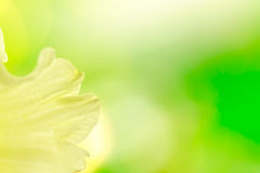 Abstract daffodil background. Yellow daffodil petal and illumination Stock Photos
