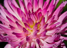 Abstract Dahlia Stock Image