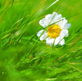 Abstract daisy background Royalty Free Stock Images