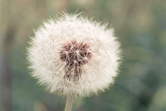 Abstract dandelion clock Stock Image