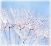 Abstract dandelion flower background royalty free stock photo