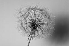 Abstract dandelion flower background, extreme closeup. Big dandelion royalty free stock photos