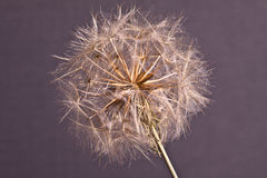 Abstract dandelion flower background, extreme closeup. Stock Photos