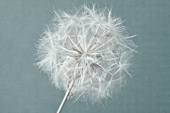 Abstract dandelion flower background, extreme closeup. stock photography