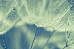 Abstract dandelion flower background, extreme closeup. Big dandelion on natural background. Royalty Free Stock Photos