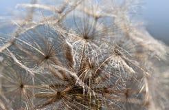 Abstract dandelion flower background, extreme closeup. Big dandelion. Wet dandelion. Droplets Stock Images