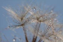 Abstract dandelion flower background, extreme closeup. Big dandelion. Wet dandelion. Droplets Stock Image