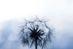 Abstract dandelion seeds over clear background. Dandy natural flying away. Macro isolated pattern. Flowerless blowing. Abstract dandelion seeds over clear royalty free stock photography