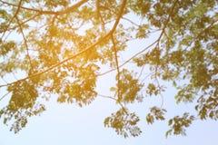 Abstract de lentebeeld Groene natuurlijke achtergrond van uit de tak van de nadrukboom Stock Afbeelding