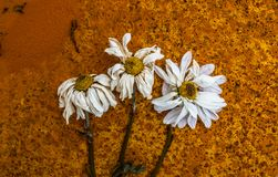 Abstract decaying rusty flowers. Abstract decaying flowers on rusty background texture Royalty Free Stock Images