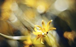 Abstract defocused background with flower Gagea lutea or Yellow Star-of-Bethlehem Royalty Free Stock Photography
