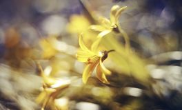 Abstract defocused background with flower Gagea lutea or Yellow Star-of-Bethlehem Stock Photography