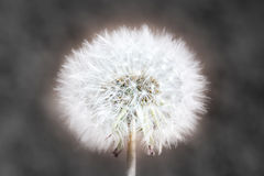Abstract dendelion Stock Image