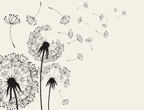 Abstract Dendelions dandelion with flying seeds Stock Photos