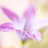 Abstract detail of blooming spring flower, selective focus Royalty Free Stock Photography