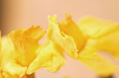 Abstract detail of Daffodils Stock Photo