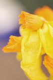 Abstract detail of Daffodils Stock Image