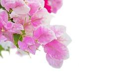 Abstract die DE van bougainvillea, document bloemen wordt geconcentreerd Stock Afbeeldingen